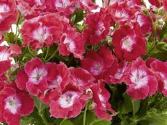 Muškát, pelargonie velkokvětá 'Melva Cherry Rose' - Pelargonium grandiflorum 'Melva Cherry Rose'