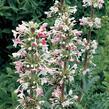 Morina dlouholistá - Morina longifolia