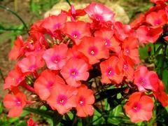 Plamenka latnatá 'Adessa Orange' - Phlox paniculata 'Adessa Orange'