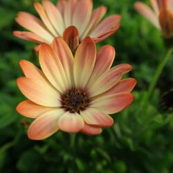 Dvoutvárka 'Tradewinds Cinnamom' - Osteospermum ecklonis 'Tradewinds Cinnamom'