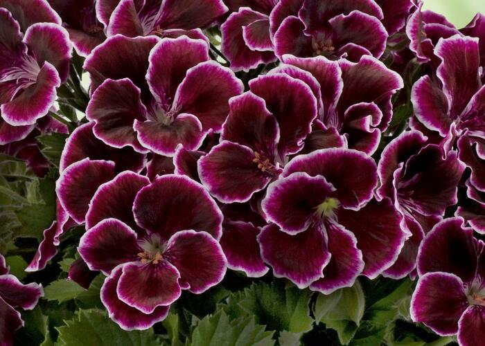Muškát, pelargonie velkokvětá 'Aristo Black Beauty' - Pelargonium grandiflorum 'Aristo Black Beauty'