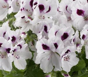 Muškát, pelargonie velkokvětá 'Aristo White with Eye' - Pelargonium grandiflorum 'Aristo White with Eye'