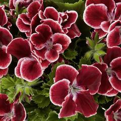 Muškát, pelargonie velkokvětá 'Aristo Red Beauty' - Pelargonium grandiflorum 'Aristo Red Beauty'