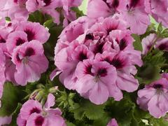 Muškát, pelargonie velkokvětá 'Aristo Pink' - Pelargonium grandiflorum 'Aristo Pink'