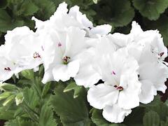 Muškát, pelargonie velkokvětá 'Aristo Snow' - Pelargonium grandiflorum 'Aristo Snow'