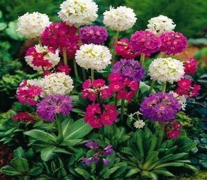 Prvosenka zoubkatá - Primula denticulata mix