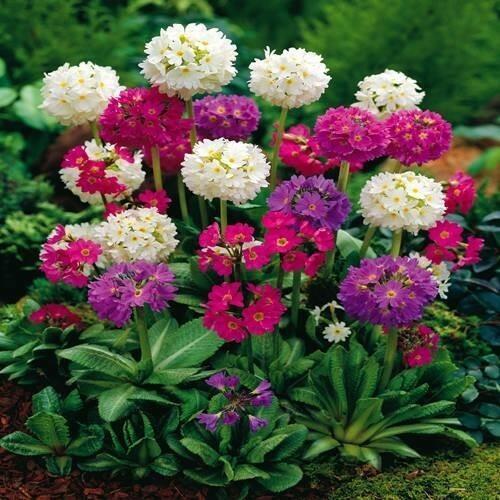 Prvosenka zoubkatá mix - Primula denticulata mix