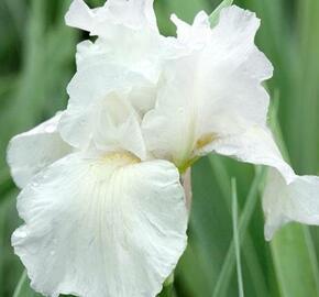 Kosatec 'Lilly White' - Iris barbata-nana 'Lilly White'