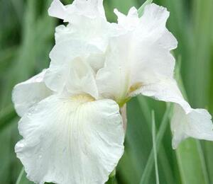 Kosatec  'Lilly White' - Iris barbata-nana 'Lilly White'