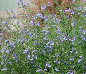 Šalvěj 'African Skies' - Salvia uliginosa 'African Skies'