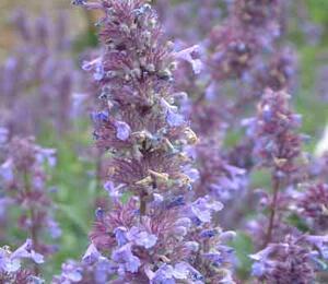 Šanta 'Bramdean' - Nepeta grandiflora 'Bramdean'
