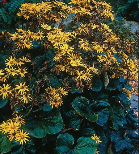 Popelivka zoubkovaná 'Othello' - Ligularia dentata 'Othello'
