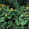 Popelivka zoubkovaná - Ligularia dentata (clivorum)