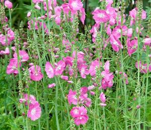 Slézovník jabloňokvětý 'Party Girl' - Sidalcea malviflora 'Party Girl'