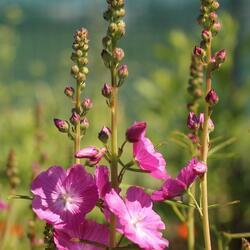 Slézovník jabloňokvětý 'Rosanna' - Sidalcea malviflora 'Rosanna'