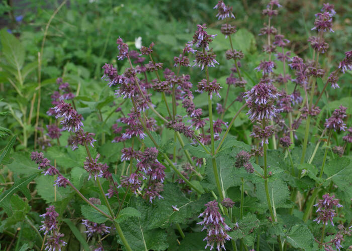 Šalvěj přeslenitá - Salvia verticillata