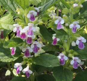 Medovník meduňkolistý 'Royal Velvet Distinction' - Melittis melissophyllum 'Royal Velvet Distinction'