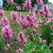 Bukvice lékařská 'Pink Cotton Candy' - Stachys officinalis 'Pink Cotton Candy'