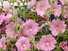 Slézovec 'Candy Floss' - Lavatera olbia 'Candy Floss'