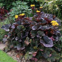 Popelivka zoubkovaná 'Midnight Lady' - Ligularia dentata 'Midnight Lady'