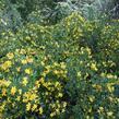 Jasmín křovitý - Jasminum fruticans