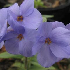 Plamenka 'Blue Ridge' - Phlox stolonifera 'Blue Ridge'