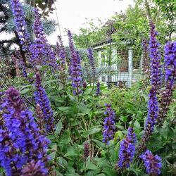 Šalvěj nádherná 'Edula Blue' - Salvia superba 'Edula Blue'
