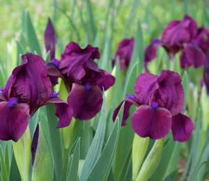 Kosatec nízký 'Cherry Garden' - Iris barbata-nana 'Cherry Garden'