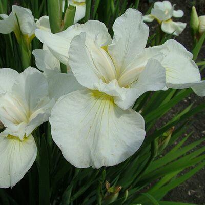 Kosatec 'Gull's Wing' - Iris sibirica 'Gull's Wing'