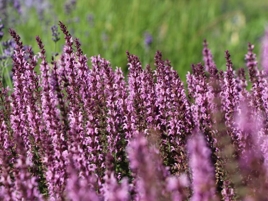 Šalvěj luční 'Pink Delight' - Salvia pratensis 'Pink Delight'
