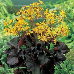 Popelivka zoubkovaná 'Dark Beauty' - Ligularia dentata 'Dark Beauty'