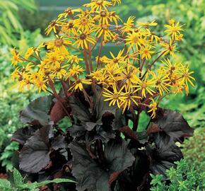 Popelivka zoubkovaná 'Dark Beauty' - Ligularia dentata 'Dark Beauty'