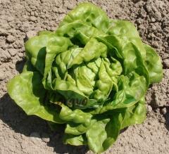 Salát hlávkový 'Safír' - Lactuca sativa var. capitata 'Safír'