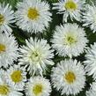 Kopretina velkokvětá 'Crazy Daisy' - Leucanthemum x superbum 'Crazy Daisy'