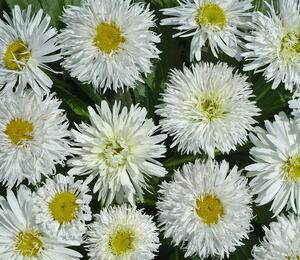 Kopretina 'Crazy Daisy' - Leucanthemum x superbum 'Crazy Daisy'