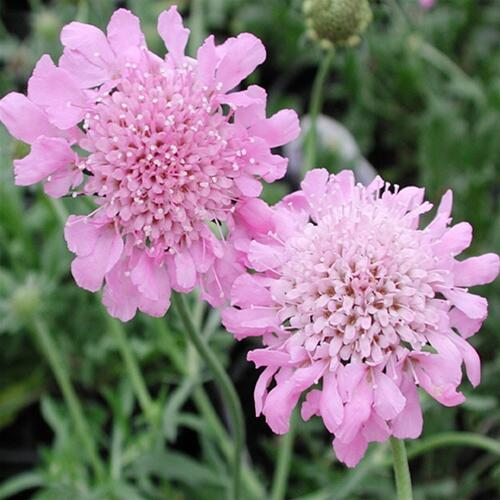 Hlaváč 'Pincushion Pink' - Scabiosa columbaria nana 'Pincushion Pink'