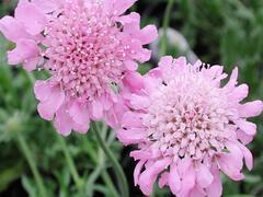 Hlaváč 'Pincushion Pink' - Scabiosa columbaria f. nana 'Pincushion Pink'
