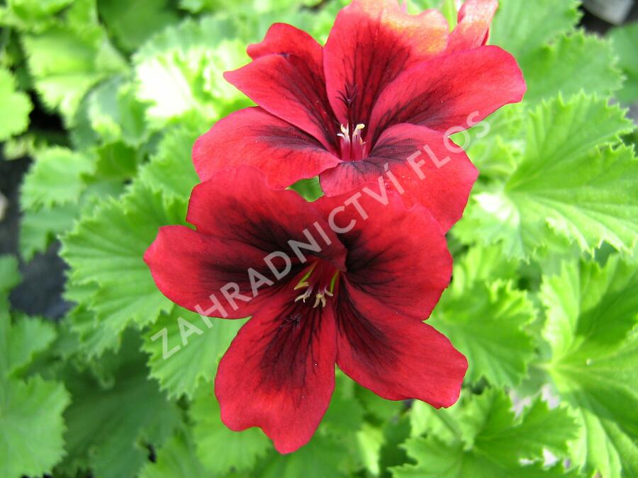 Muškát, pelargonie velkokvětá 'Aristo Velvet Red ' - Pelargonium grandiflorum 'Aristo Velvet Red'