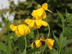 Třapatka lesklá 'Herbstsonne' - Rudbeckia nitida 'Herbstsonne'