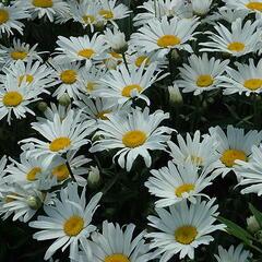 Kopretina velkokvětá 'Silver Princess' - Leucanthemum x superbum 'Silver Princess'