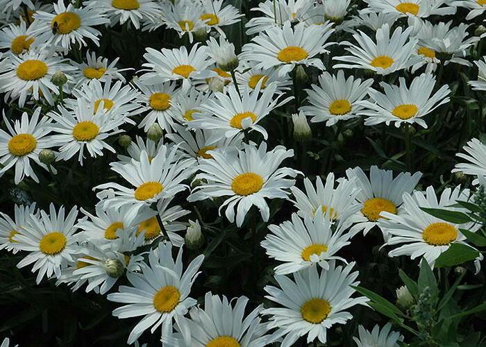 Kopretina 'Silver Princess' - Leucanthemum x superbum 'Silver Princess'