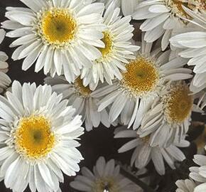 Kopretina největší 'Sunny Side Up' - Leucanthemum maximum 'Sunny Side Up'