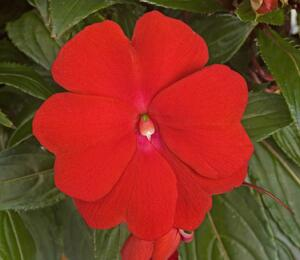 Netýkavka 'Sonic Deep Red' - Impatiens Neu-Guinea 'Sonic Deep Red'