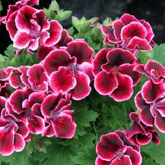 Muškát, pelargonie velkokvětá 'Aristo Beauty' - Pelargonium grandiflorum 'Aristo Beauty'