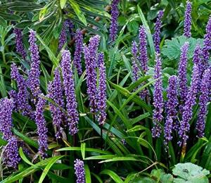 Liriope 'Big Blue' - Liriope muscari 'Big Blue'