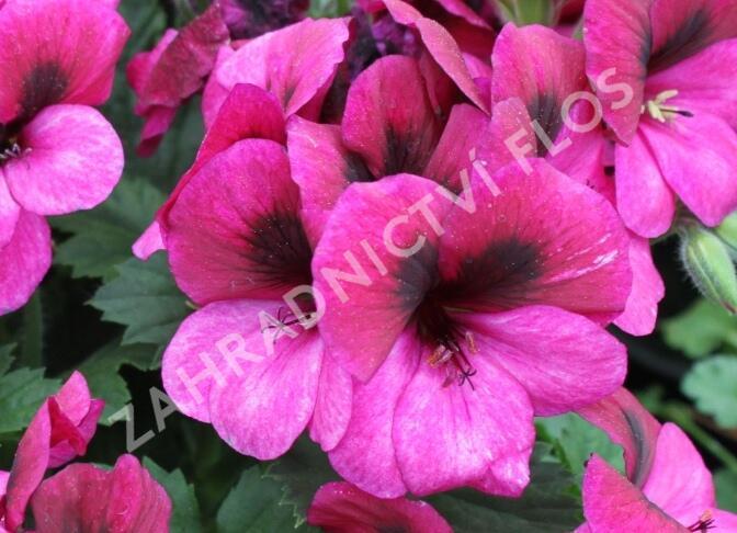 Muškát, pelargonie velkokvětá 'Aristo Violet' - Pelargonium grandiflorum 'Aristo Violet'