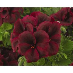Muškát, pelargonie velkokvětá 'Aristo Burgundy' - Pelargonium grandiflorum 'Aristo Burgundy'