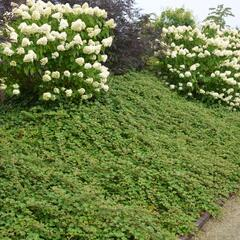 Ostružiník 'Betty Ashburner' - Rubus tricolor 'Betty Ashburner'