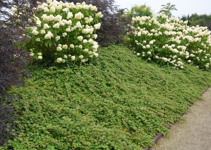 Ostružník 'Betty Ashburner' - Rubus tricolor 'Betty Ashburner'