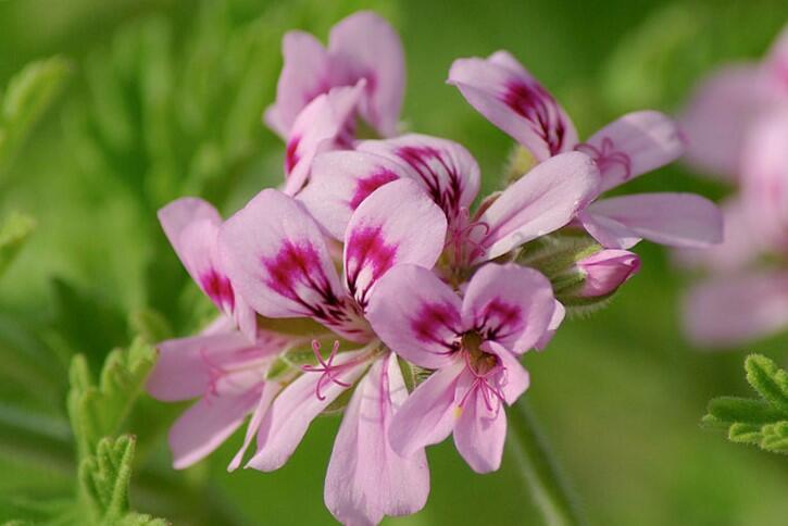 Muškát, pelargonie vonná 'Rose' - Pelargonium odoratissimum 'Rose'